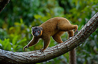 Brown Collard Lemur (Eulemur collaris), also known as the red-collared brown lemur or red-collared lemur. Madagascar. Strepsirrhine primate and one of twelve species of brown lemur in the family Lemuridae. It is only found in south-eastern Madagascar
