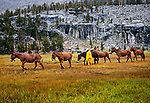 Cowboy Frank Smith, bringing the mules in at Crabtree Meadow, West slope of Sierra Nevada, Sequoia National Park, California