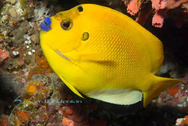 Threespot angelfish (type of Rock Beauty found in Philippines), Apolemichthys trimaculatus,, Philippines 2017, Philippines Underwater, Rock Beauty hybrid, Visayas, Visayas Archipelago