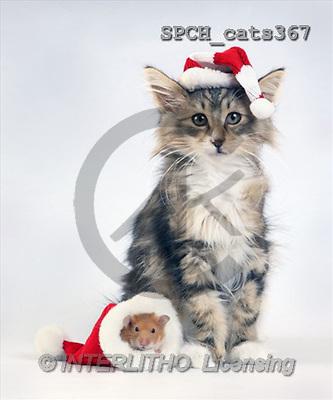 Xavier, CHRISTMAS ANIMALS, photos(SPCHcats367,#XA#)