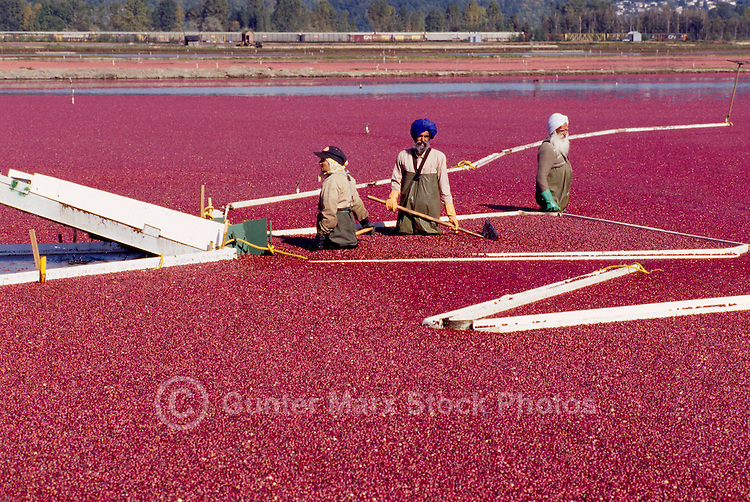 Richmond, BC, British Columbia, Canada - East Indian Agricultural Workers harvesting Cranberries (Vaccinium macrocarpon) from Bog Boom in Flooded Field to Conveyor Belt, on Cranberry Farm