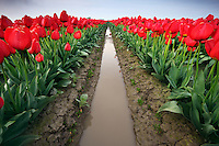 Rows of red tulips, Skagit Valley, Washington, USA