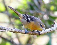 First-year female Baltimore oriole
