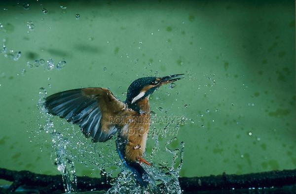 Common Kingfisher, Alcedo atthis,male catching fish, Zug, Switzerland, Europe