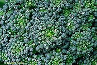 HS17-018x  Broccoli - head close-up - Saga variety