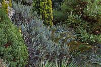 Veronica (Hebe) 'Western Hills', Polystichum munitum (Western Swordfern) on The Dry Bank in Elisabeth Miller Botanical Garden