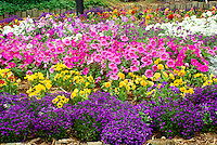 Bright blooming garden of lobelia, petunias, and pansies for a shock of color