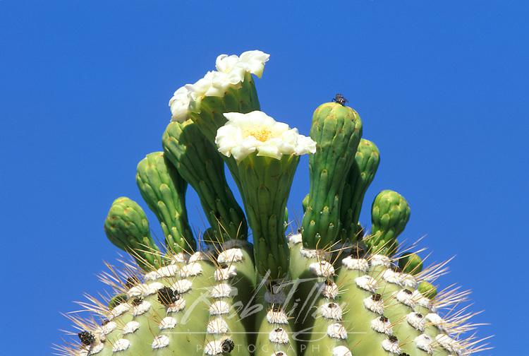 Saguaro Cactus Flower, Sonora Desert Museum, Tucson, Arizona