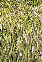 Hakonechloa macra 'Aureola' aka 'Alboaureola' ornamental grass in autumn