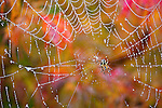 Spider in Web, Red Laceleaf Maple, Japanese Maple.  Private garden professionally landscaped.