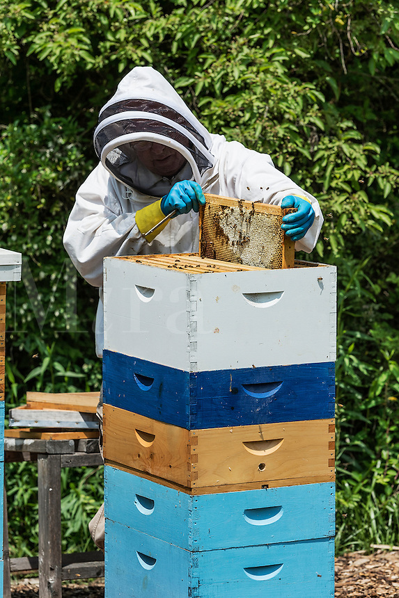 A beekeeper removing frames from the bee hive.
