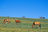 Wild Horses in subalpine meadow, Western U.S., summer..(Equus caballus)