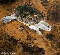 0115-0904  Diamondback Terrapin Swimming Underwater, Malaclemys terrapin  © David Kuhn/Dwight Kuhn Photography.