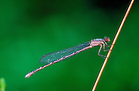 Close up of a Damsel fly.