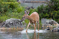 MA11-528z  Northern (Woodland) White-tailed Deer, Odocoileus virginianus borealis
