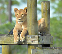 LOXAHATCHEE, FL - NOVEMBER 18: Animals at Lion Country Safari on November 18, 2014 in Loxahatchee, Florida.<br /> <br /> People:  Animals<br /> <br /> Transmission Ref:  FLXX<br /> <br /> Must call if interested<br /> Michael Storms<br /> Storms Media Group Inc.<br /> 305-632-3400 - Cell<br /> 305-513-5783 - Fax<br /> MikeStorm@aol.com<br /> www.StormsMediaGroup.com