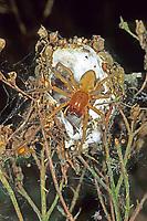 Dornfinger, Ammen-Dornfinger, Dornfinger-Spinne, Dornfingerspinne, im geöffneten Gespinst, Giftig, Giftspinne, Gifttier, Cheiracanthium punctorium, yellow sack spider, Dornfingerspinnen, Eutichuridae, Cheiracanthiidae