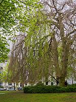 Linde (genus Tilia) bei Neuapostolische Kirche, Curschmannstraße 17 in Hamburg-Hoheluft-Ost, Deutschland, Europa<br /> lime tree (genus Tilia) at New Apostolic Church, Curschmann St. 17 in Hamburg-Hoheluft-Ost, Germany, Europe