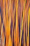 Colorful blue and gold abstract of river reeds