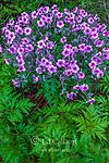 Geranium, Geranaceae, Dylis, Maderense, Cranesbill, Fern Canyon Garden, Mill Valley, California
