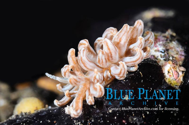 Lembeh Phyllodesmium, Phyllodesmium lembehense, Lembeh Strait, North Sulawesi, Indonesia, Pacific Ocean