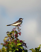Eastern Kingbird perched on a branch with red berries against soft blue sky