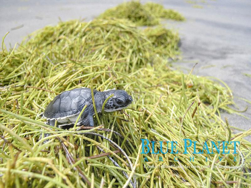 Green Turtle, chelonia mydas, hatchling