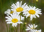 Daisies are such pretty flowers.
