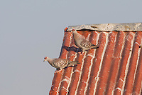 Speckled Pigeons on a rooftop near Lake Langano in Ethiopia