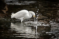 A Snowy Egret strikes to grab a morsel at the Bolsa Chica Ecological Preserve in Huntington Beach, California.