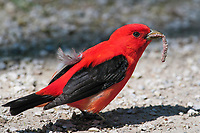 Male scarlet tanager (Piranga olivacea) eating worm. Great Lakes region. May