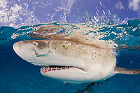 Lemon shark, Negaprion brevirostris, split view, close up of mouth, teeth and eye with ampullae of Lorenzini (electrosensory pores) visible; remora, Bahamas, Caribbean Sea, Atlantic Ocean