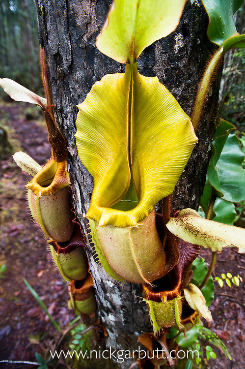 Large aerial pitcher of Pitcher Plant (Nepenthes veitchi). Montane mossy heath forest or 'kerangas', southern plateau, Maliau Basin, Sabah's 'Lost World', Borneo.