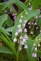 Convallaria majalis var. rosea, Lily-of-the-Valley, pink variety, in bloom in spring, bell-like flowers