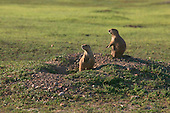 Prairie Dogs on alert