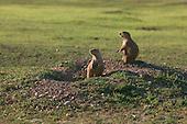 Prairie Dogs on alert