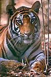 Female Bengal tiger (Panthera tigris tigris)  resting in bamboo grove in forest, Bandhavgarh NP, Madhya Pradesh, India
