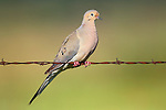 Mourning Dove on Fence Wire