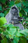 Silvered Langur or Silver Leaf Monkey (Presbytis cristata) feeding on flowers. Bako National Park, Sarawak, Borneo.