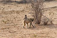 Africa, Botswana, Kasane, Chobe National Park, baby monkey.