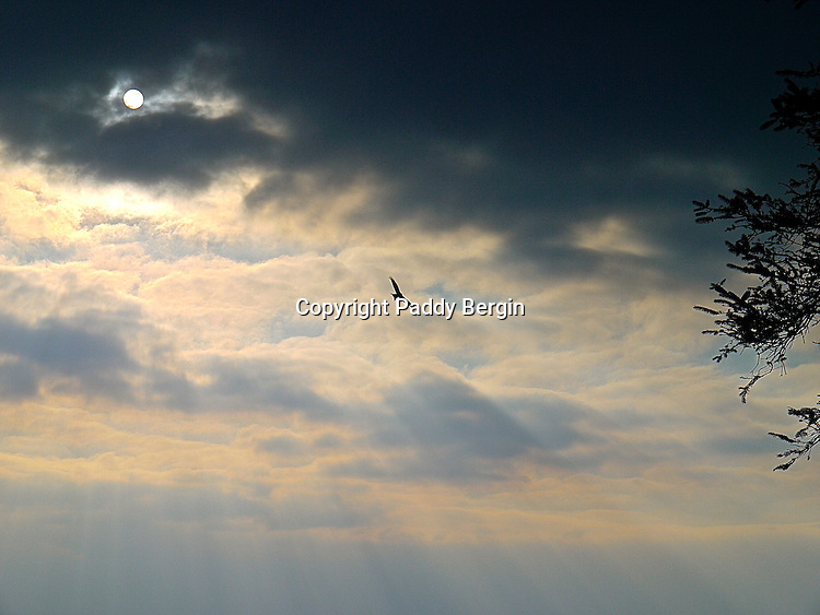 Red Kite with sun showing through clouds,soaring,soaring Red Kite,stock photo by Paddy Bergin,Wales