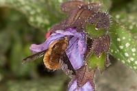 Hummelschweber, Großer Wollschweber, Bombylius major, Blütenbesuch an Lungenkraut, Saugrüssel, Nektarsuche, Blütenbestäubung, beeflies, beefly