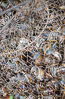 Europe/France/Poitou-Charentes/79/Deux-Sèvres/Arçais: aprés le ramassage des escargots le panier de petits-gris ou lumas de Jean-Jacques Lamberton dit Tonton, batelier du Marais Poitevin