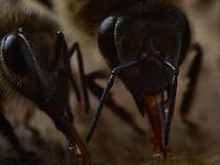 Close-up of bees sucking up honey. The bee's tongue is called a proboscis. It is made up of many parts, hanging parts and buccal parts, coming together to form a canal surrounding the tongue, which ends in a spoon. It's average length is 6 – 7mm.<br /> Gros plans d'abeilles aspirant du miel. La langue des abeilles est appelée proboscis. Il est formé de nombreuses pièces, pièces de suspension et pièces buccales, s'assemblant pour former un canal entourant la langue, qui se termine par une cuillère. Sa longueur moyenne est de 6-7 mm.