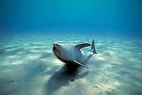 Bottlenose Dolphin, Tursiops truncatus, playing on sandy bottom.