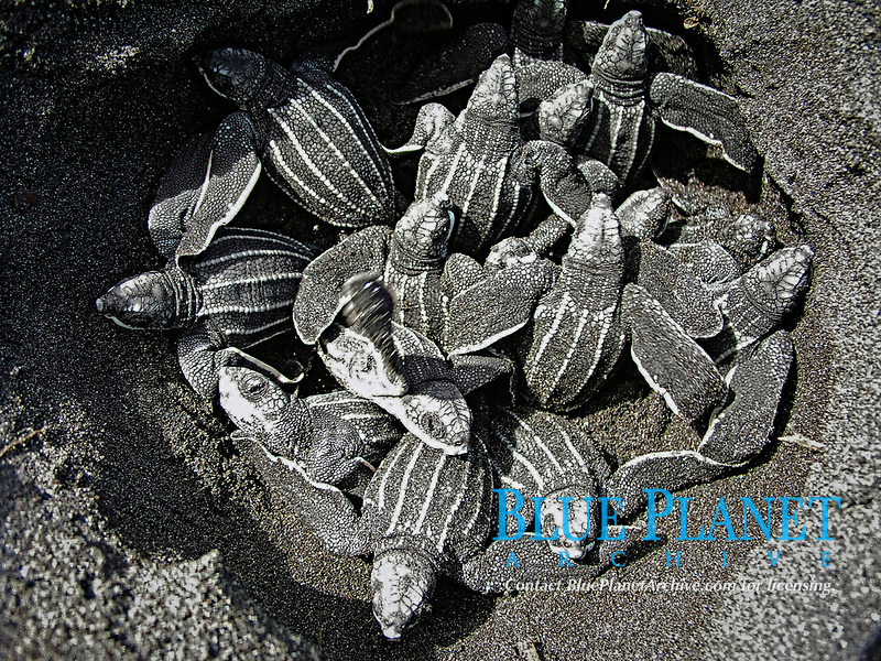 leatherback sea turtle hatchling, Dermochelys coriacea, exiting their nest, Dominica, Caribbean, Atlantic Ocean