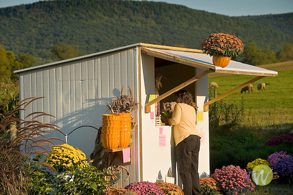 Route 44, Nippenose Valley. Fall farmstand with chrysanthemums.