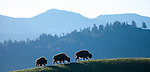 Yellowstone National Park, WY<br /> Three bison backlit on a ridge line in the Lamar River Valley