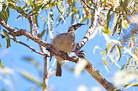 Silver-Crowned Friarbird, Katherine Gorge, NT, Australia