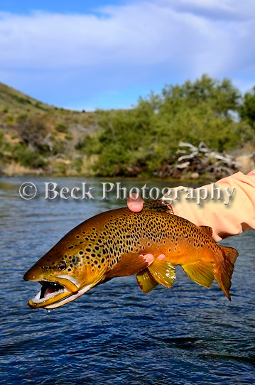 Brown trout on a streamer